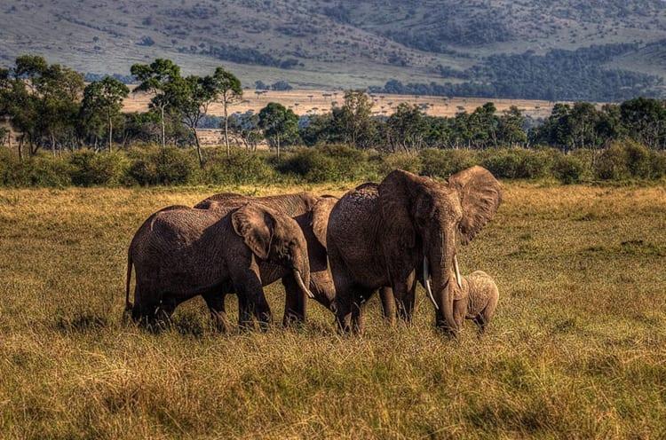 Ol Pejeta Elephants