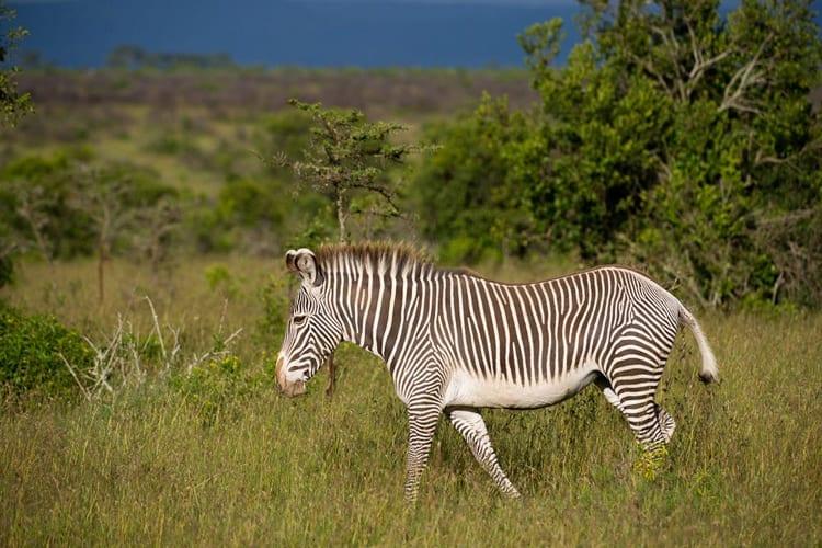 Ol Pejeta Grevy's Zebra