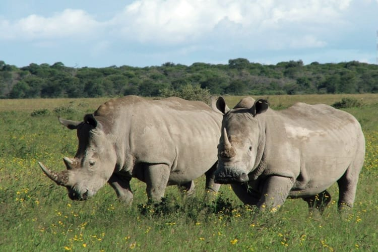 Ol Pejeta Rhinos