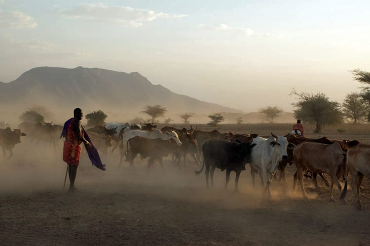Cattle and Masai (Maasai) warriors and herdsmen at sunset in Shompole Group Ranch. South Kenya.