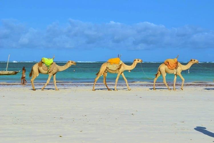 Galu Beach camels