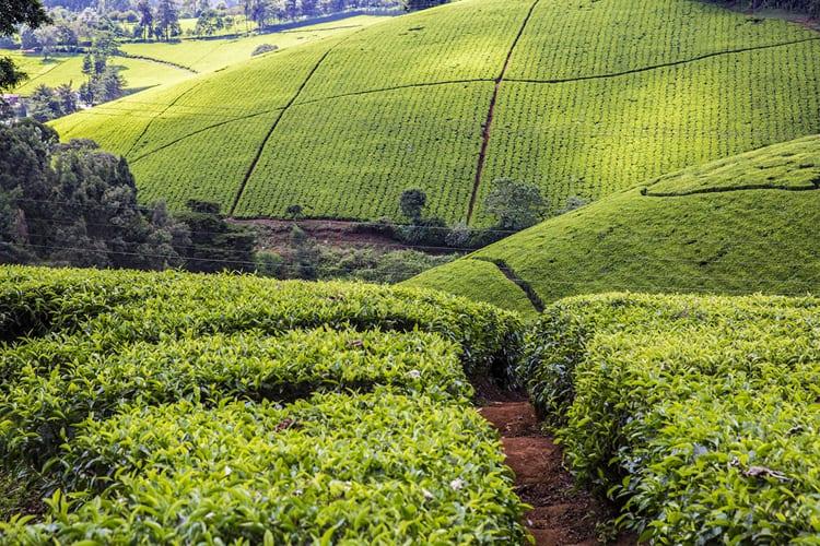 Tigoni Tea farm